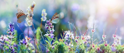 beauty spring concept, wild blue flowers and grass with butterfly closeup, wide horizontal panorama photo